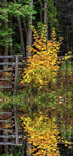 Young Maple - Reflection.  A flamboyant young maple tree shows off its autumn colors beside a split rail fence in southern Ontario.