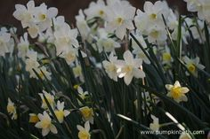 Narcissus 'Pueblo' pictured during my 2017 Scented Daffodil Trial. Pastel Shades, Daffodils, White Flowers, Color Change, Pumpkin, Gardening, Colour, Plants, Beautiful