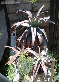 Aloe roeoeslii.