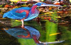 Agami Heron (Central America, Peru & Brazil)