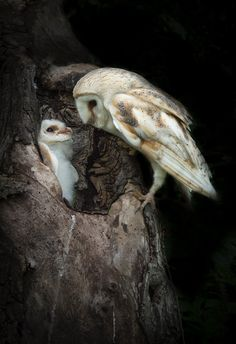 Barn Owls | House and Garden Plaques