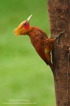 Chestnut-colored Woodpecker