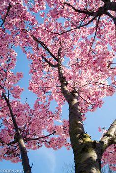 Sakura in the sky by Nguyen Tuan Hung / Frühling Wallpaper, Spring Wallpaper, Flower Phone Wallpaper, Wallpaper Nature Flowers, Beautiful Flowers Wallpapers, Beautiful Nature Wallpaper, Spring Aesthetic, Flower Aesthetic, Aesthetic Backgrounds