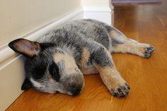 Australian Cattle Dog Puppy.  <3