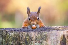 According to a Princeton University study, grey squirrels are capable of remembering where thousands of nuts are buried—for months at a time. They'll even use subterfuge to trick would-be nut takers; in a 2010 study, squirrels who knew they were being watched dug fake caches for their nuts, making a show of digging holes and patting them over with dirt while hiding their precious nuts under their armpits or in their mouth until they could find a more suitable hiding spot elsewhere.