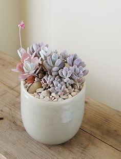 What cute little lavender succulents! Perfect for spring!