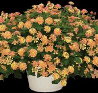 The 'Carolina Peaches' Lantana Plant has clusters of small, peach and yellow flowers surrounded by deep green foliage. It has a compact, mounding habit that makes it the perfect variety for growing in containers, though many landscapers use it as a sunny, bright ground cover or cascading over retaining walls