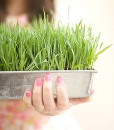 How to grow your own wheatgrass.