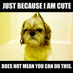 Just because I am cute does not mean you can do this #shihtzu #meme