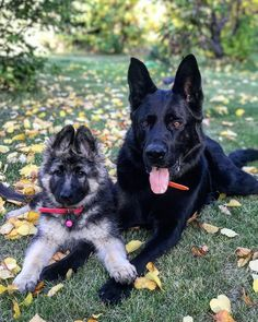 Outstanding pretty dogs info are offered on our site. Read more and you will not be sorry you did. Mutt Puppies, Aussie Puppies, Puppies Tips, Australian Shepherd Puppies, German Shepherd Dogs, Black German Shepherds, Cute Dogs Breeds, Dog Breeds, Schaefer