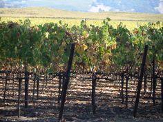 October vines in Carneros