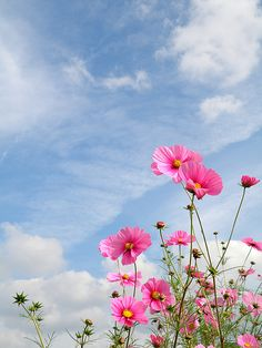 Cosmos, I just planted some