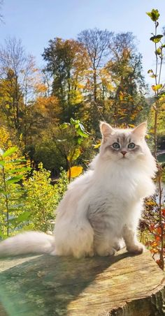 Cute Cats And Kittens, Cool Cats, Kittens Cutest, Birman Cat, Cat Photography, Cute Funny Animals, Beautiful Cats, Cat Toys, Animals And Pets