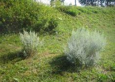 absinthe-herbes
