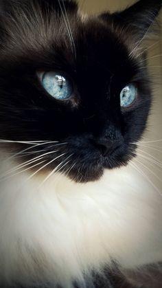 Cute Cats And Kittens, I Love Cats, Kittens Cutest, Pretty Cats, Beautiful Cats, Animals Beautiful, Black Cat Aesthetic, Clumping Cat Litter, Rare Cats