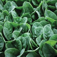 Highly uniform, Seaside is an excellent choice for baby leaf and bunch market growers. Seaside's uprig Malabar Spinach, Buy Seeds, Powdery Mildew, Chinese Cabbage, Balloon Flowers, Seed Packets, Companion Planting, Garden Gifts, Seaside