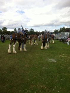 Perth Show 2013 Perth Scotland, Clydesdale, Horses, Places, Animals, Animales, Animaux, Animal, Animais