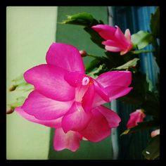 Flor de maio rosa - @fabilage- #webstagram