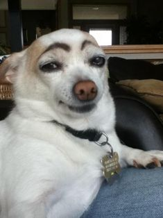 Bored? Draw eyebrows on your dog and laugh until his next bath.. Haha oh my.