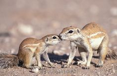 Ground Squirrel (Xerus inauris) mother and child Ground Squirrel, Yamagata, Animal Alphabet, Mother And Child, Bird, Children, Photography, Animals, Mother Son