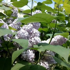 Lilac; the smell off May. Gorgeous scent from this old shrub that we inherited with our 60year old house. About the only decent plant in the neglected garden. Hopefully it'll be here long after we're gone too.
