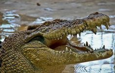 Careful it Bites - Croc Fact of the Week: Crocodiles have very special eyes. Not only can they see in the day time, but they also have night vision. They can even see underwater. Whereas a human's field of view of is almost 180 degrees, a Croc's line of vision spans almost 270 degrees... But here's a tip, they can't see anything below their nose! (We still wouldn't advise hiding your Old Croc Cheese there though!)