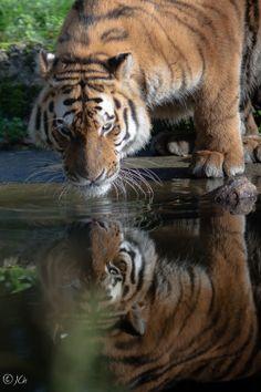 Reflection,Siberian tiger by Johan CHABBERT