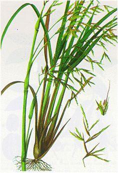 Tutto cominciò...: Lemongrass, olio essenziale
