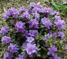 Rhododendron 'Purple Gem'  Dwarf, low, compact mound shape, growing 2–5″ a year. Masses of tiny blue-purple flowers in May. Very small blue-green leaves turn bronze in winter. New growth is bluish green. A Guy Nearing hybrid, sister to Rh. 'Ramapo'. (-18°F, UM). Rhododendrons prefer rich, humusy, acidic soil that drains well. Sandy or dry soil, as well as heavy clay, should be amended before planting by adding peat moss, peat humus, or compost.