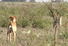 Coyote Decoy Dog Training