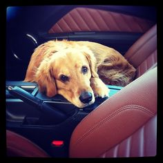 My Golden Retrieve all ready for a car ride in my Ford Mustang