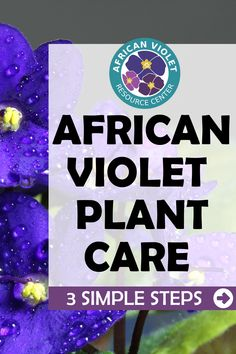 Growing indoor African Violet plants does not have to be difficult. Learn the 3 simple steps to mastering the art of growing African Violets. Learn the conditions in which they thrive and what to do if you encounter any problems. African Violet plant care is easy as 1, 2, and 3! House Plant Care, House Plants, Types Of Houseplants, Violet Plant, Fiddle Leaf Fig Tree, African Violet, Little Plants, Violets, How To Find Out