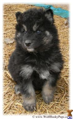 Cute Little Puppies, Adorable Puppies, Adorable Animals, Puppy Love, Cute Dogs, Cute Babies, Wolf Dogs, Wolf Husky, Doggies