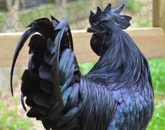 """A chicken called the Ayam Cemani. The bird is inky black from the tip of its comb to the end of its claws, with blue-black skin, jet-black eyes, and a black tongue. It is covered in shimmering metallic black feathers, and even its internal organs are black."""
