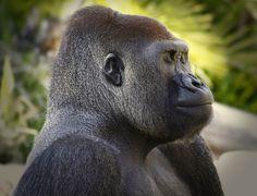 Gorilla profile. Photograph by AXEL FOLEY