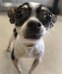 Aww! It's a chihuahua!! So cute!