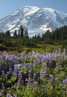Photograph - Rainier Wild Flowers by Pierre Leclerc Photography , Salt And Light, Mount Rainier National Park, Pacific Northwest, Beautiful Landscapes, Lakes, Wilderness, Wild Flowers, National Parks, Rest
