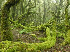 Sprookjesbossen op de Canarische Eilanden. Garajonay op La Gomera http://www.naturescanner.nl/europa/spanje/canarische-eilanden/la-gomera