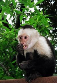 Marcel   ( a Capuchin Monkey) was Ross Geller's pet monkey on Friends.