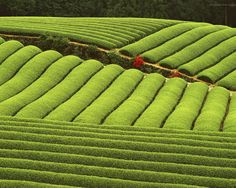 Tea farm in Japan.