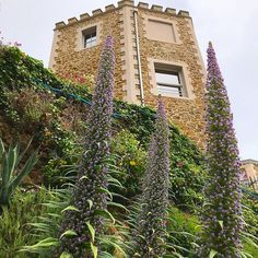 Amazing ten foot tall Echium Pininana flowers on the Promenade du Clair de Lune in beautiful Dinard #brittany #bretagne #dinard #echium #flowers #frenchgarden #frenchholiday