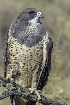 Black-chested Buzzard-eagle (Geranoaetus melanoleucus) is a bird of prey of the hawk and eagle family (Accipitridae). It lives in open regions of South America.