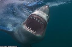 Blue-eyed killer: Perkins has noted one intriguing characteristic of white sharks - their eye colour, which most people expect to be black Shark Pictures, Shark Photos, Orcas, Animals Beautiful, Cute Animals, Shark Bait, Megalodon, Great White Shark, Ocean Creatures