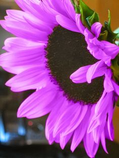 Purple sunflower  <3<3<3WOW! DIDN'T KNOW THEY CAME IN ANY OTHER COLOURS APART FROM YELLOW/ORANGE - AWESOME!<3<3<3