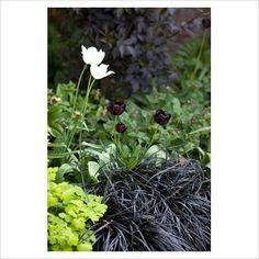 tulipa 'queen of the night', ophipogon planiscapus 'nigrescens' and tuilpa 'white triumphator'