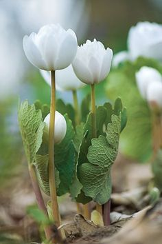 Sanguinaria canadensis You are in the right place about Perennials nuskin Here we offer you the most beautiful pictures about the red Perennials you are looking for. When you examine the Sanguinaria canadensis part of the picture you can get the mass… Red Perennials, Flower Garden, Pretty Flowers, Spring Wildflowers, White Flowers, Plants, Garden, Love Flowers, Canadensis