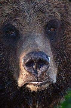 Grizzly bear, just look at that face