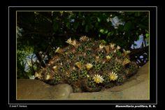 Mammillaria prolifera | por Sphenodiscus
