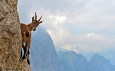 Lonely goat: A fearless goat perches on a tiny ledge on the side of a mountain - inches from a 2000ft drop