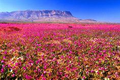 El desierto florido es un fenómeno natural que reverdece el desierto llenándolo con un manto de más de 200 especies de flores distintas. Este acontecimiento no ocurre todos los años, se necesita que llueva más de lo normal en el desierto para que durante los meses de invierno y primavera haga su aparición. Un auténtico...